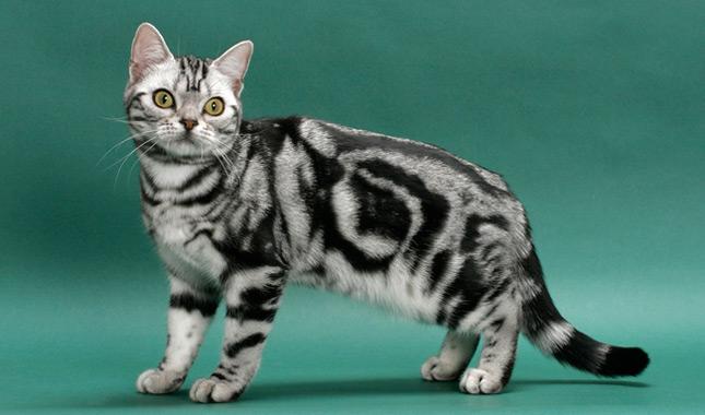 อเมริกัน ช็อตแฮร์ (American Shorthair)
