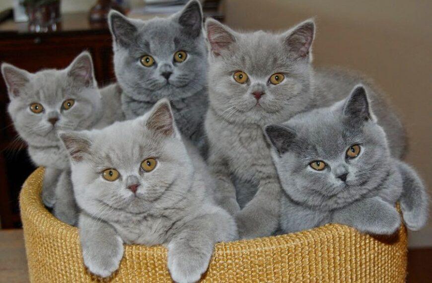 British Shorthair แมวแสนน่ารักของเมืองผู้ดี