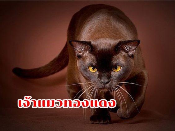เจ้าแมวทองแดง