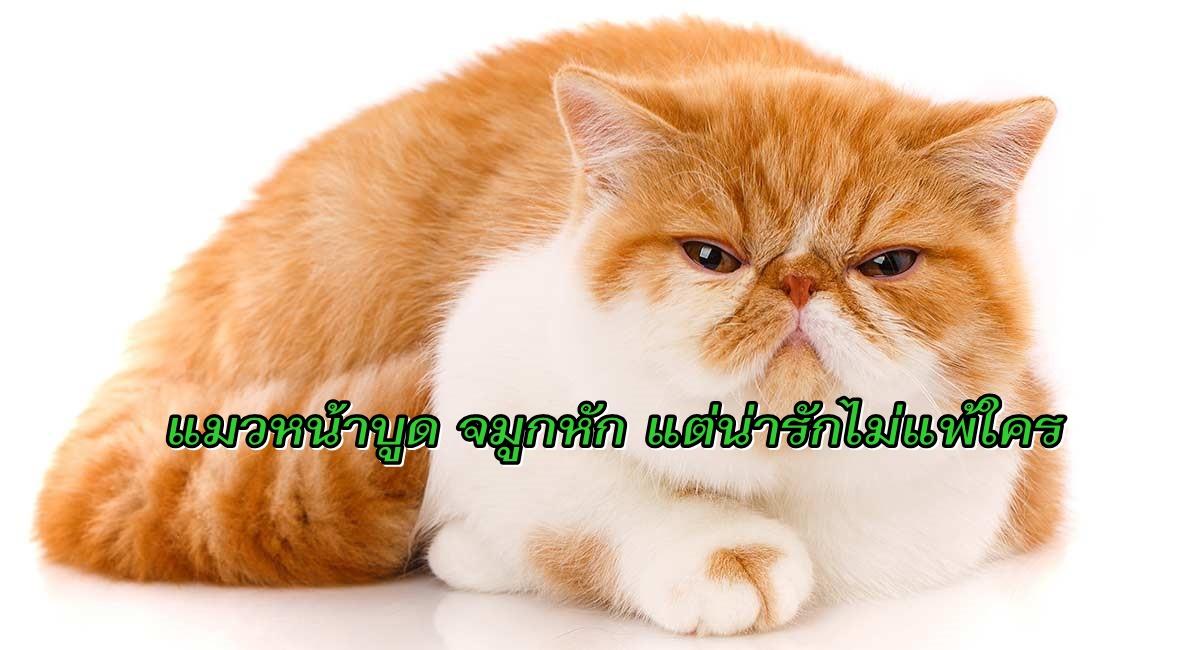 แมวพันธุ์เอ็กโซติก
