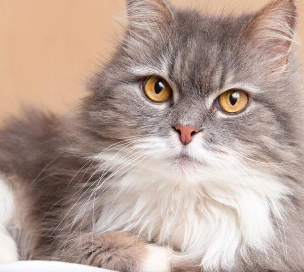 แมวเปอร์เซีย แมวขนฟูจากแดนตะวันออกกลาง