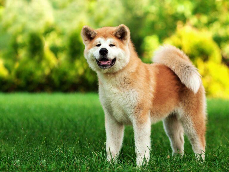 รู้จัก ชิบะ อินุ (Shiba Inu) หมาสัญชาติญี่ปุ่นแสนน่ารัก
