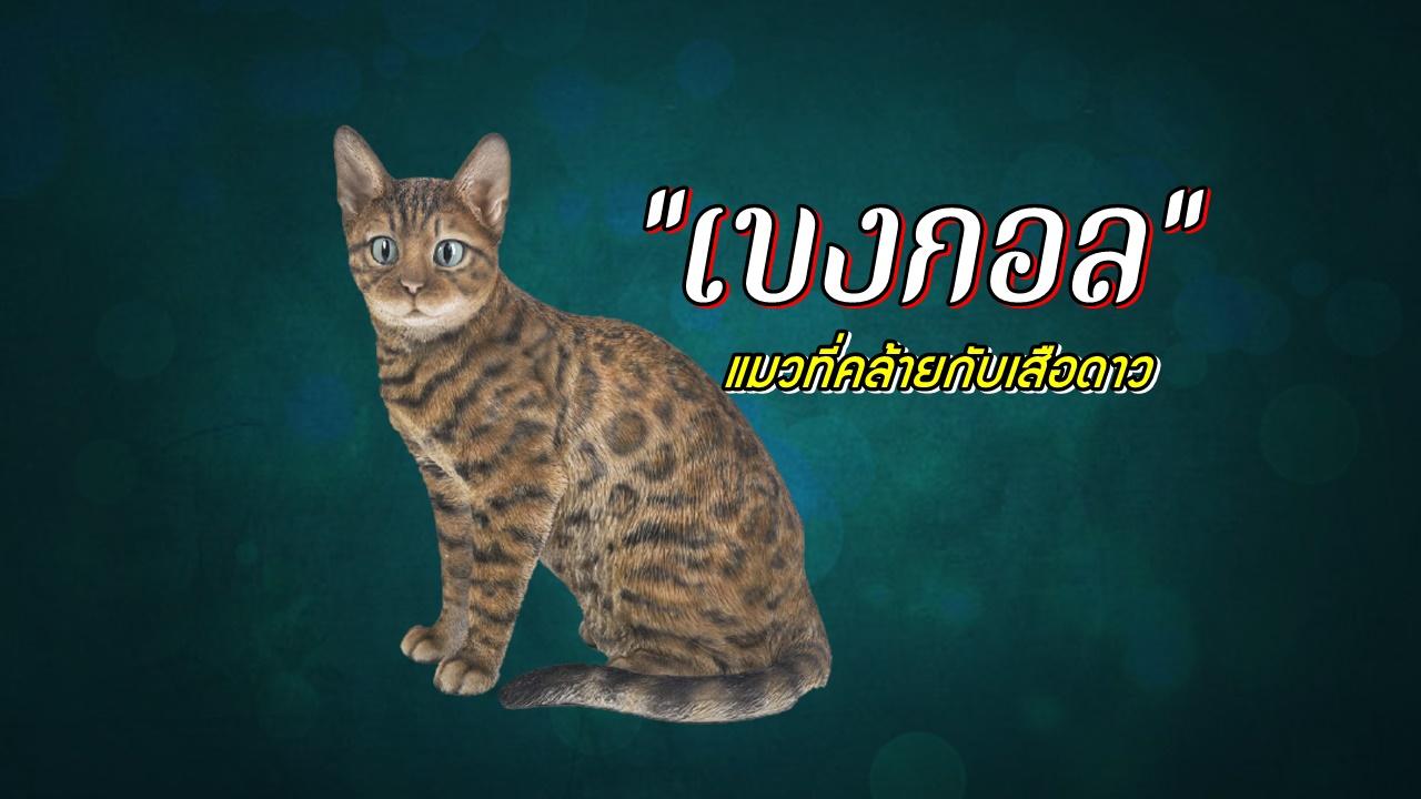 แมวพันธุ์เบงกอล (Bengal) แมวที่คล้ายกับเสือดาว