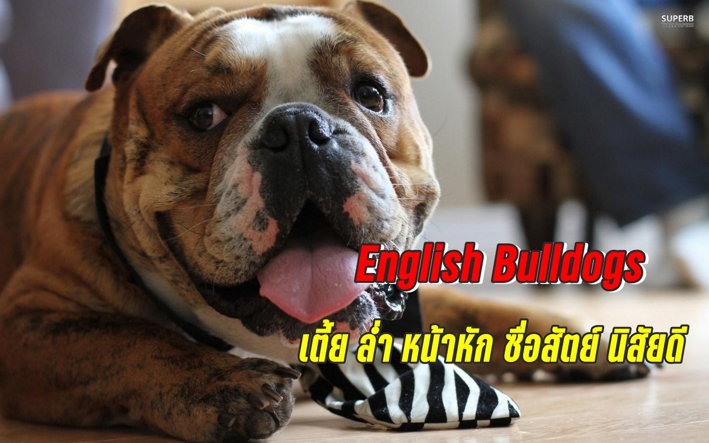 หมาพันธุ์อิงลิช บูลล์ด็อก (English Bulldogs) หมาพันธุ์เตี้ย ล่ำ หน้าหัก ซื่อสัตย์ นิสัยดี