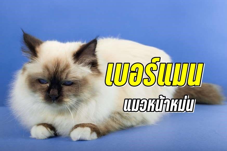 เบอร์แมน (Birman) แมวหน้าหม่น