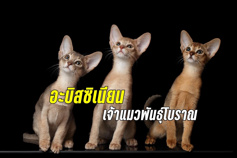 อะบิซีเนียน (Abyssinian) เจ้าแมวพันธุ์โบราณแสนน่ารัก