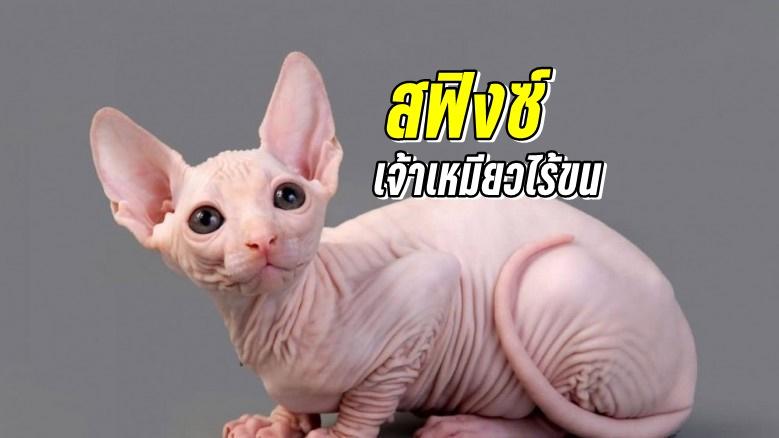 แมวพันธุ์สฟิงซ์