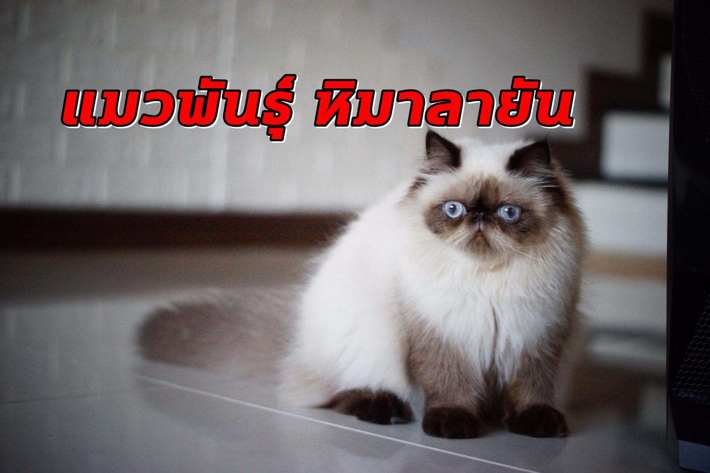 แมวพันธุ์หิมาลายัน