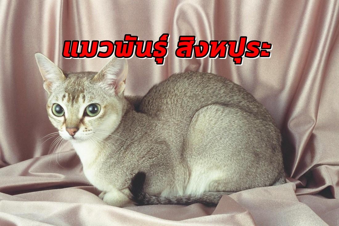 แมวพันธุ์สิงหปุระ