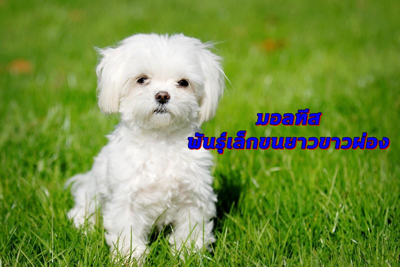 Maltese หมาพันธุ์เล็กขนยาวขาวผ่อง เป็นสุนัขที่สังคมให้คุณค่าสูงมาก