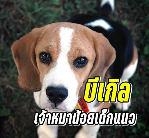 หมาพันธุ์บีเกิล (Beagle)