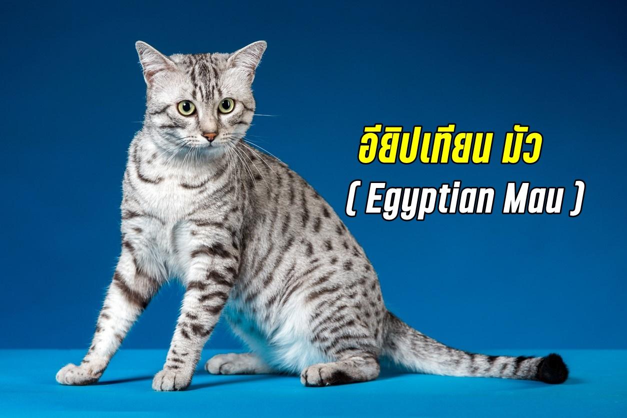 แมวพันธุ์ อียิปเทียน มัว แมวที่มีปฏิกิริยาตอบสนองที่ดีที่สุดในบรรดาแมวทุกสายพันธุ์