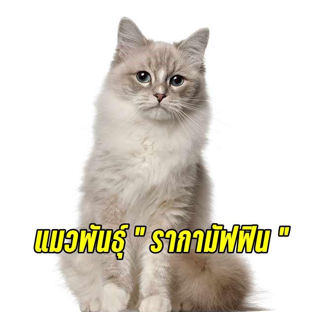 เจ้าแมว ลายขาว กระดองเต่า หรือมิงค์