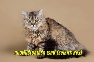 Selkirk Rex