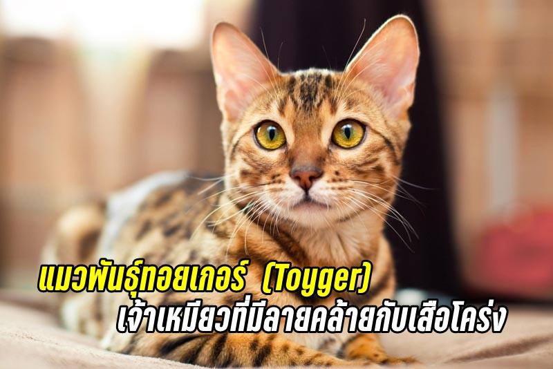 แมวพันธุ์ทอยเกอร์ (Toyger) เจ้าเหมียวที่มีลายคล้ายกับเสือโคร่ง