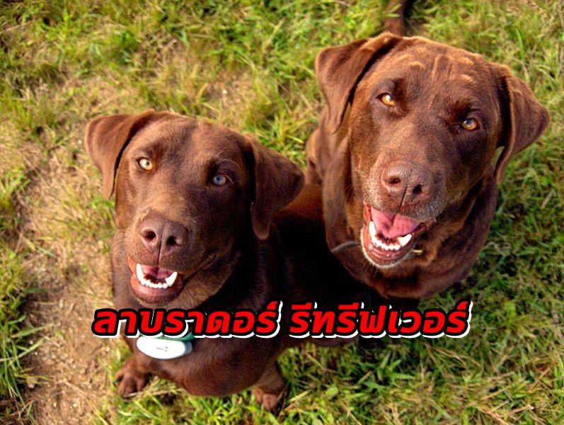 หมาพันธุ์ ลาบราดอร์ รีทรีฟเวอร์ที่เป็นเพื่อนคู่หูของครอบครัวที่ยอดเยี่ยม