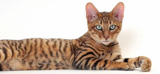 แมวพันธุ์ทอยเกอร์