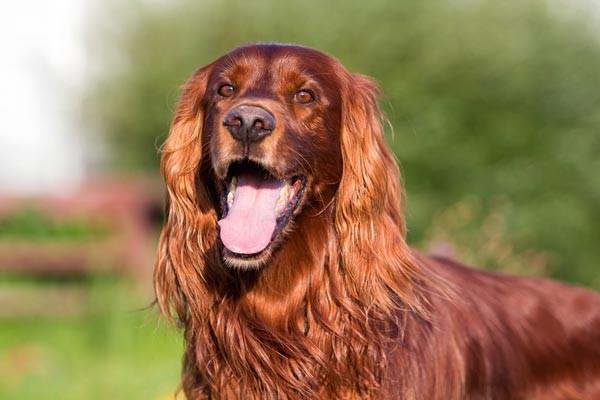 ไอริช เรด เซตเทอร์ จากสุนัขยอดนักล่า สู่สุนัขคู่ใจของคนทั่วโลก