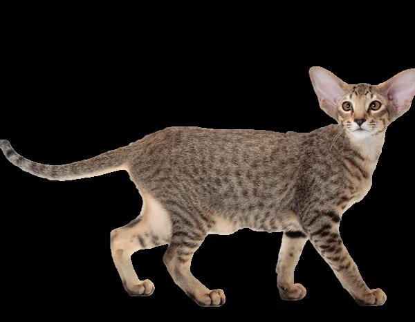 โอเรียนทัล แมวขนสั้นแสนน่ารัก