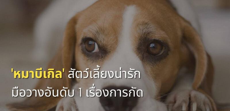 หมาบีเกิล สัตว์เลี้ยงน่ารัก มือวางอันดับ 1 เรื่องการกัด