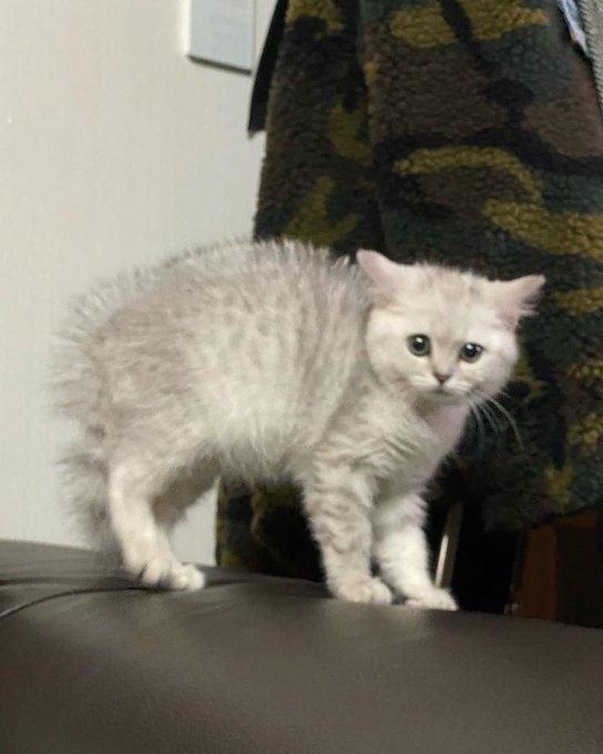 แมวบริติชช็อตแฮร์