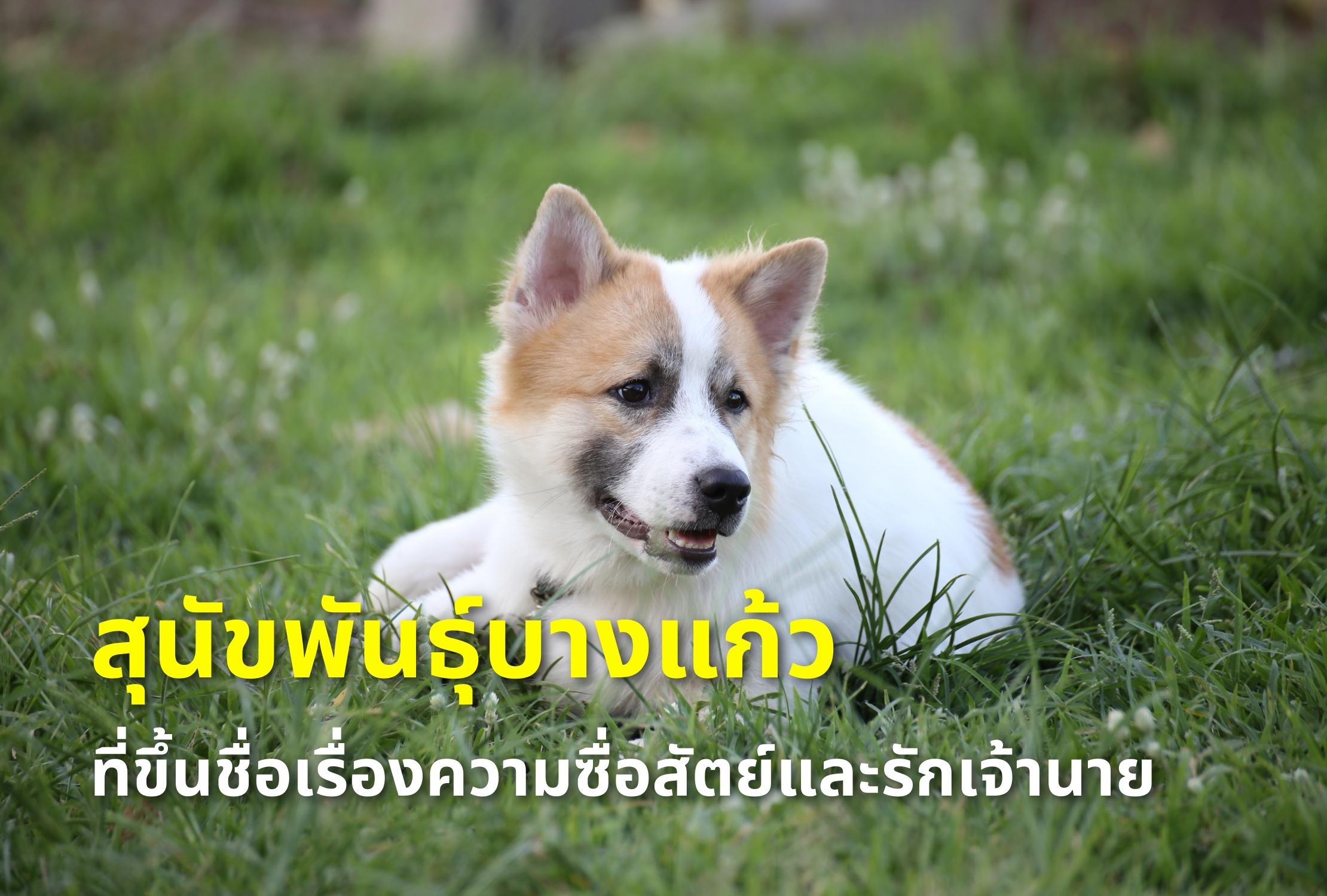 สุนัขพันธุ์บางแก้วที่ขึ้นชื่อเรื่องความซื่อสัตย์และรักเจ้านาย