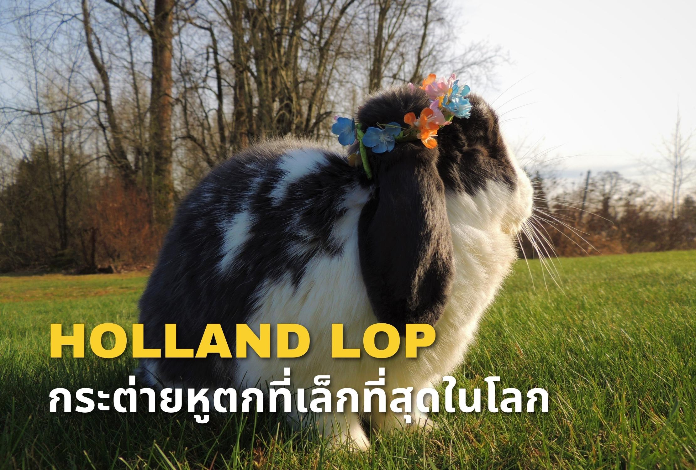 กระต่าย HOLLAND LOP กระต่ายหูตกที่เล็กที่สุดในโลก