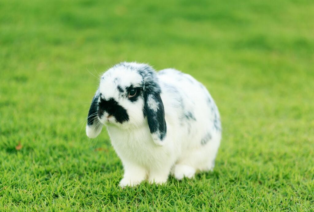 กระต่าย HOLLAND LOP