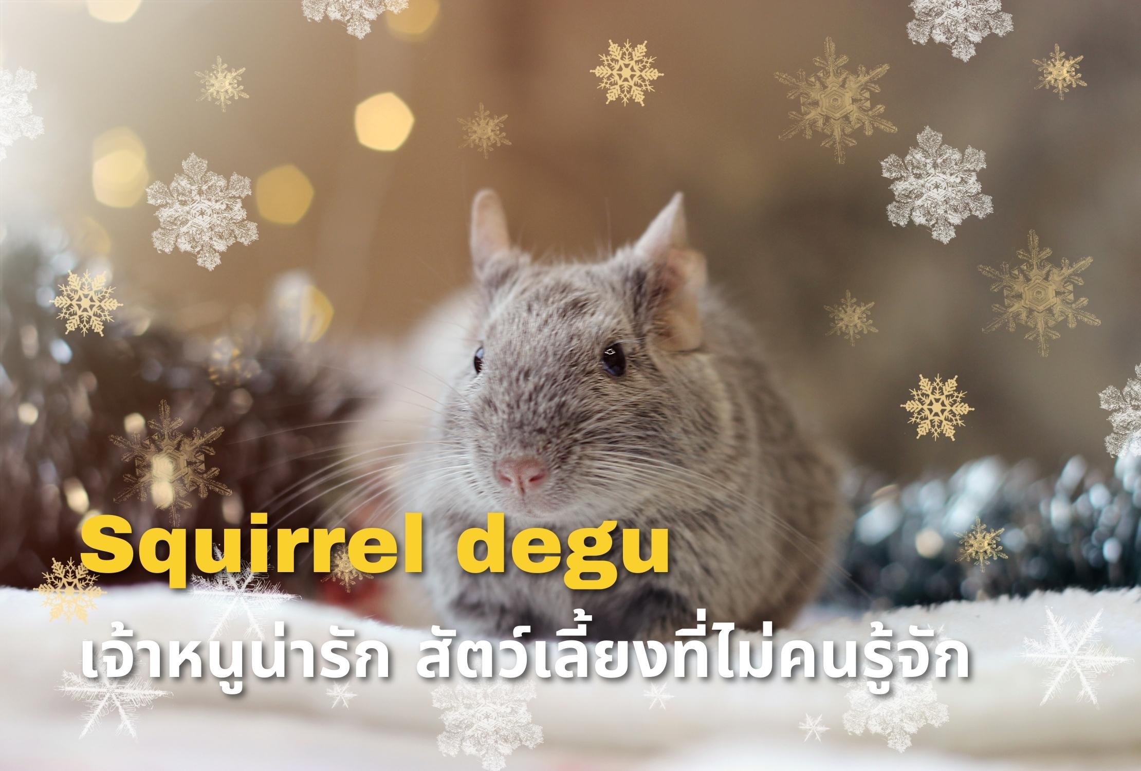 Squirrel degu เจ้าหนูน่ารัก ซึ่งเป็นสัตว์เลี้ยงชนิดใหม่ที่ไม่ค่อยไม่คนรู้จักนัก