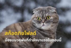 สก๊อตทิช โฟลด์ (Scottish fold) น้องแมวหูพับน่ารัก