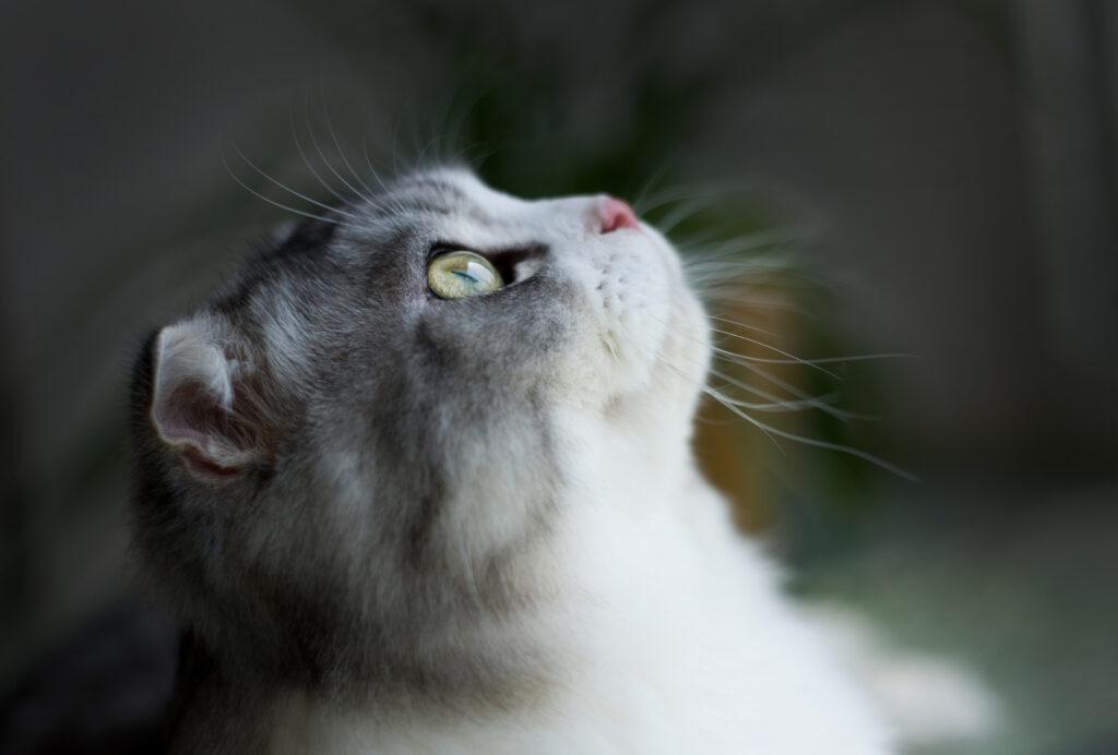 แมวสก๊อตทิช โฟลด์