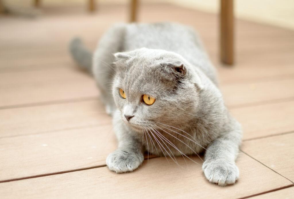 แมวหูพับสก๊อตทิช โฟลด์