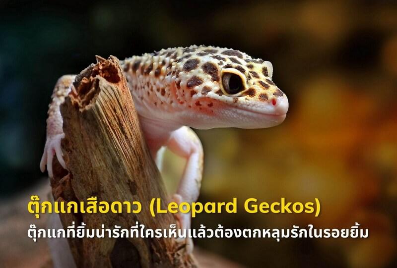 ตุ๊กแกเสือดาว (Leopard Geckos) ตุ๊กแกที่ยิ้มน่ารักที่ใครเห็นแล้วต้องตกหลุมรักในรอยยิ้ม