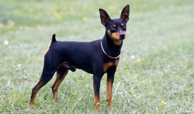 หมา มิเนเจอร์พินช์เชอร์