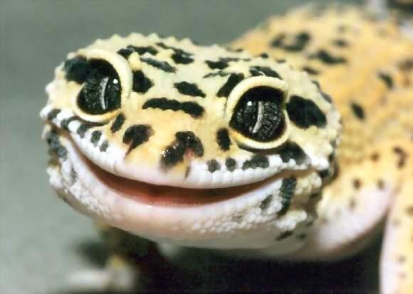 ตุ๊กแกเสือดาว (Leopard Geckos)