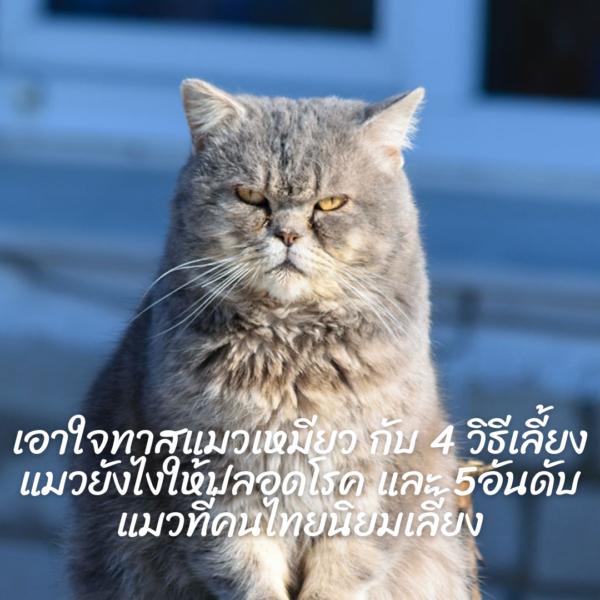 เอาใจทาสแมวเหมียว กับ 4 วิธีเลี้ยงแมวยังไงให้ปลอดโรค และ 5อันดับแมวที่คนไทยนิยมเลี้ยง