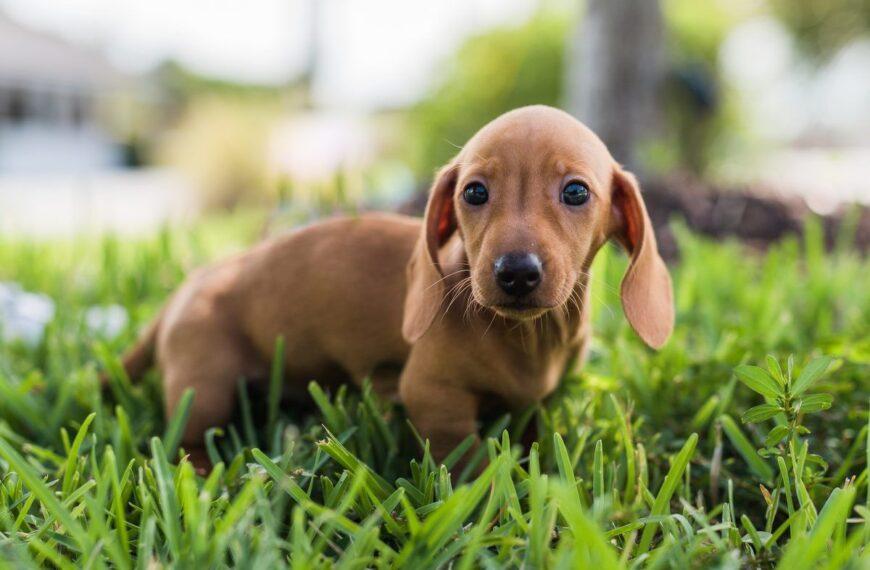 แด็กซันด์ สุนัขไส้กรอกที่คุณจะต้องตกหลุมรัก