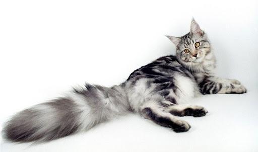เมนคูน (Maine Coon) แมวขนนุ่ม แสนน่ารัก
